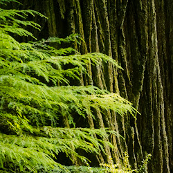 Revisiting the Redwoods