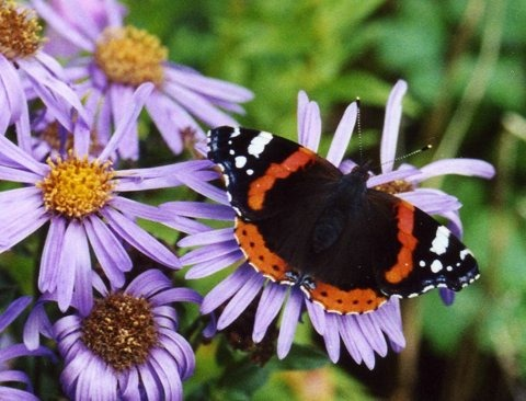 [Red_Admiral_on_Mich_Daisies%5B3%5D]
