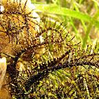 Commensal crinoid shrimp (Cabilao)