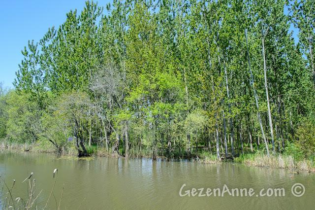 Sakarya, Karasu'daki Acarlar Longozu'nda göl içindeki orman