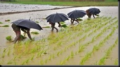 Monsoon - rice field