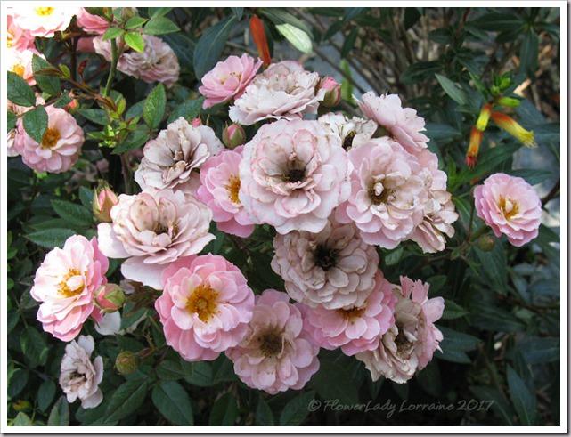 04-03-new-rose