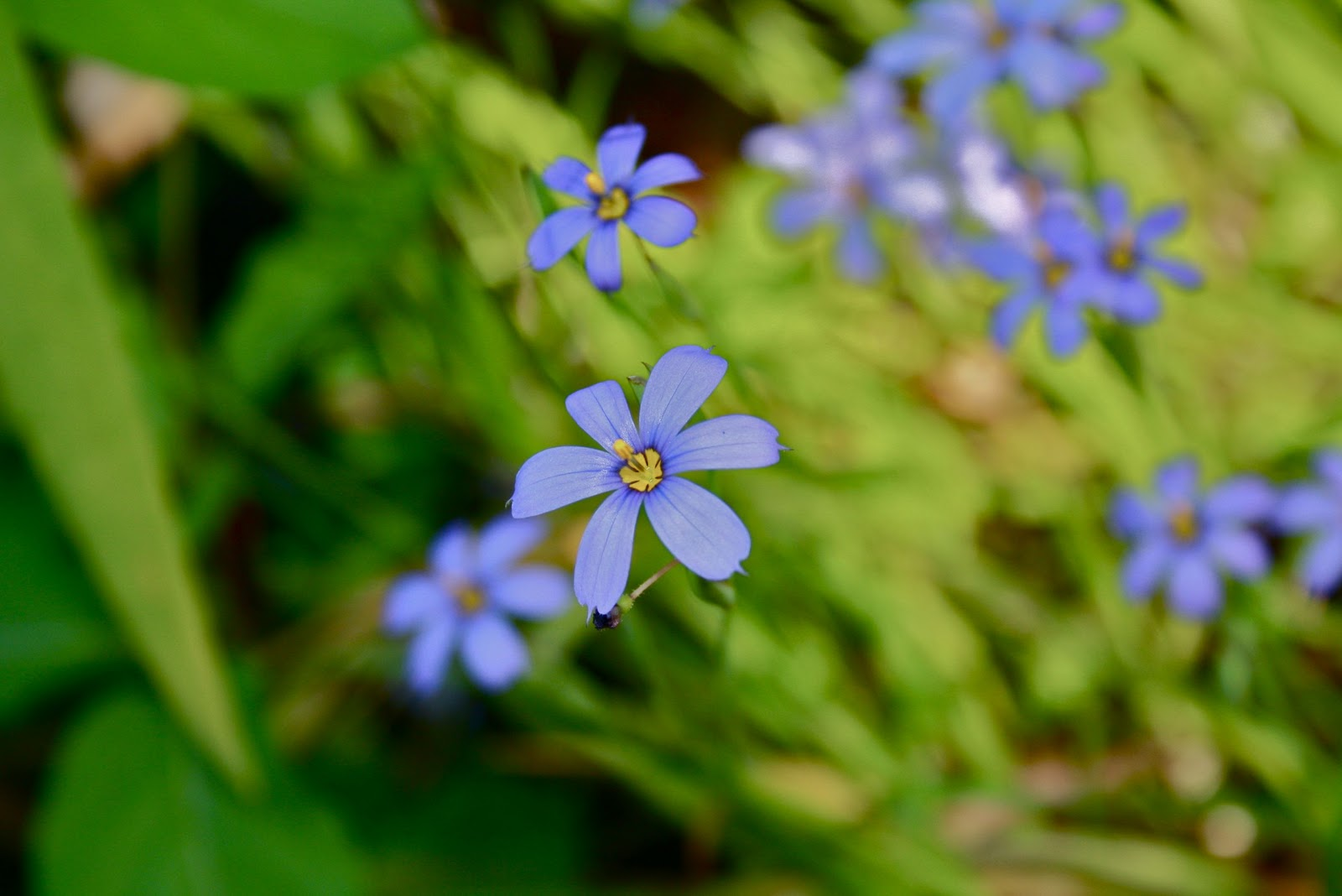 Seeds For Green Roofs: Sisyrinchium angustifolium, Blueeyed Grass for