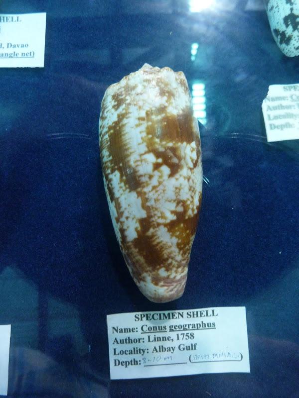 Conus geographus . Coquillage mortel