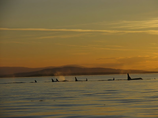 Orcas are one of the most recognizable animals of the Pacific Northwest, and are frequently spotted in the waters surrounding the San Juan Islands. / Credit: Peter James Photography Studio