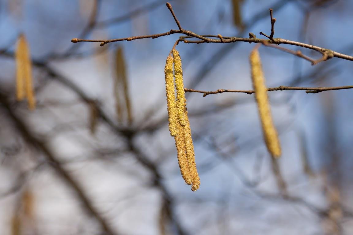 początek przedwiośnia - leszczyna, fotografia Agata Bednarska