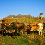 AC99 Oxen Ploughing Mar99.jpg