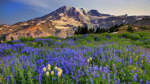 Lupine Fields, Mazama Ridge, Mount Rainier, Washington.jpg