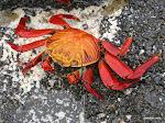 Sally Lightfoot Crab, Galápagos Islands  [2005]