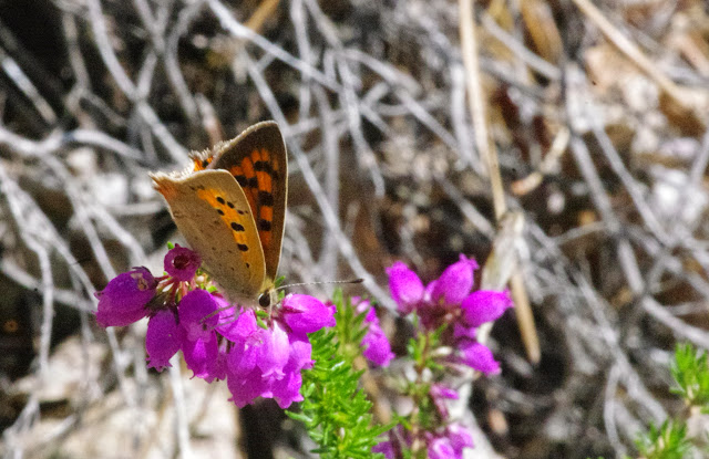 Lycaena phlaeas (L., 1761), mâle. Chemin de La Rodé (700 m), Cocurès (Lozère, France), 9 août 2014. Photo : J.-M. Gayman