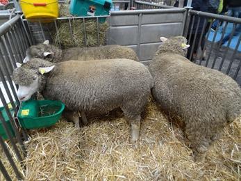 2018.02.25-011 moutons Ile--de France