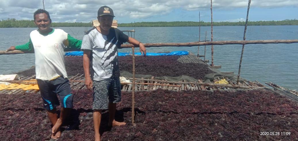 Rumput Laut Di Desa Lasama Mulai Digalakkan dan Menjadi Komoditi Unggulan