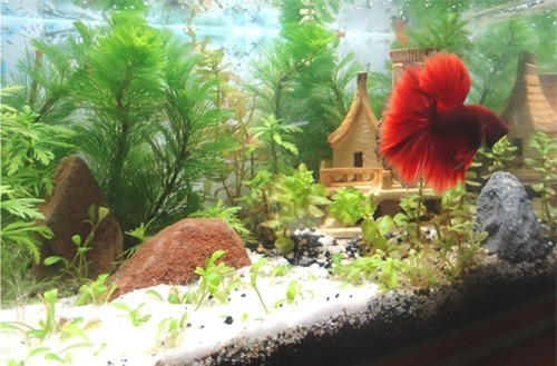 10-gallon-betta-fish-tank-decoration