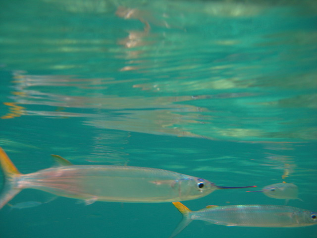 Ballyhoo. St Thomas Snorkeling.