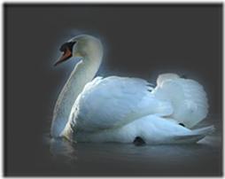 cisnes-buscoimagenes-11_thumb