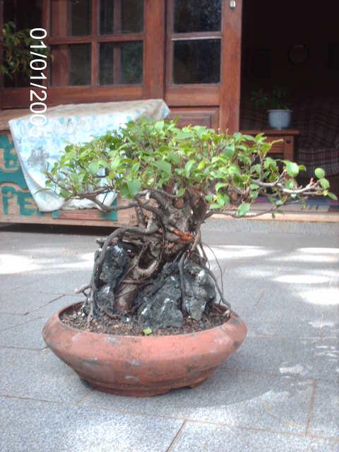 Ficus Microcarpa do Roberto Teixeira... PICT1709