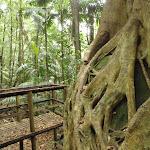 Strangler Fig growing over a boulder (226105)