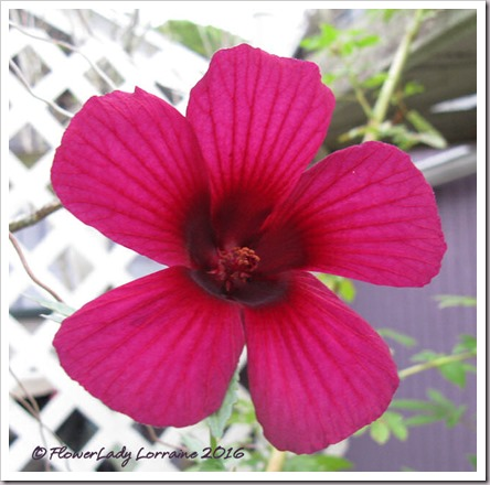 12-09-ruby-hibiscus2