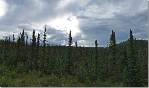 Black Spruce in Alaska
