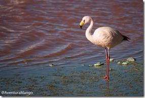 Flamingo na Lagoa Colorada