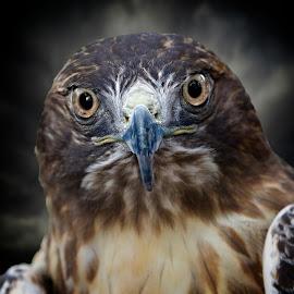 Serious eye contact with a hawk by Sandy Scott - Animals Birds ( hawk portrait, eye contact, avian, wildlife, hawk, eyes, bird, birds of prey, predator, macro, nature, raptor, animal )