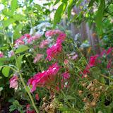 Gardening 2012 - 115_2649.JPG