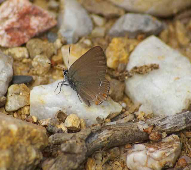 Satyrium ilicis ESPER, 1779, femelle. Bages (Pyr. Orientales), juin 2007. Photo : J.-M. Gayman