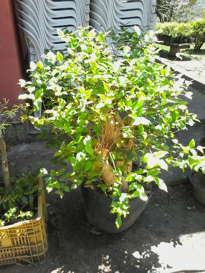 Troll Apedêuta Rural- Prés a venda... 20141023_130259