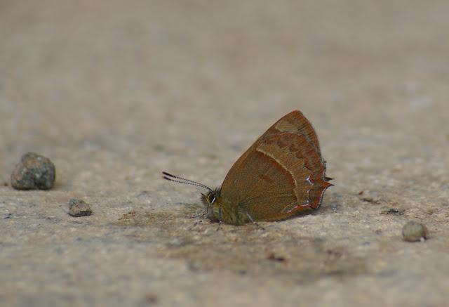 Esakiozephyrus bieti OBERTHÜR, 1886. Yulong (Yulong Xueshan, 3250 m), au Nord de Lijiang (Yunnan), 17 août 2010. Photo : J.-M. Gayman