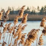 Тростник на болоте Кемери