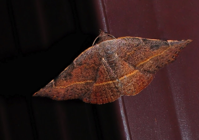 Noctuidae : Acontiinae : Sophta concavata WALKER, [1863]. Umina Beach (NSW, Australie), 25 septembre 2011. Photo : Barbara Kedzierski