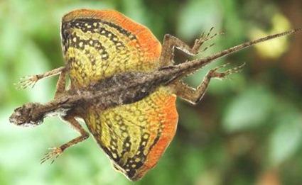 draco-flying lizard