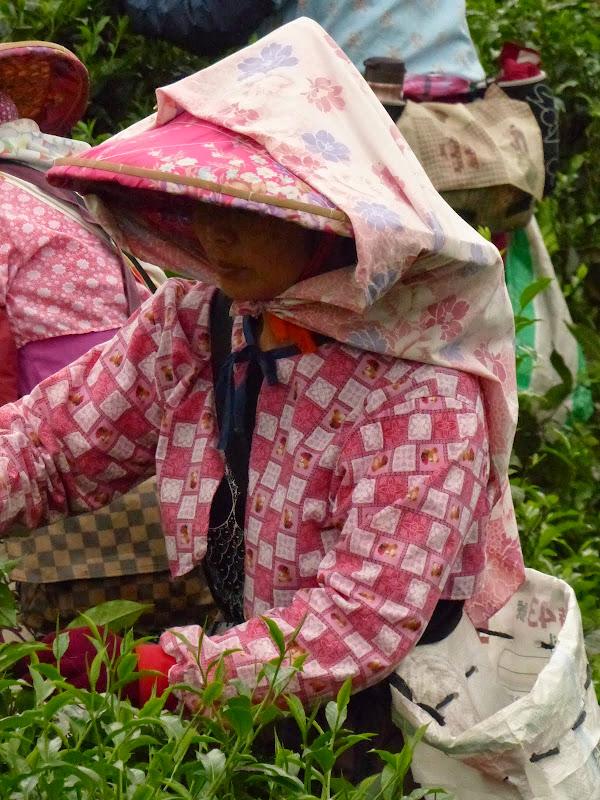 Puli, Nantou county, cueillette de thé - P1050546.JPG