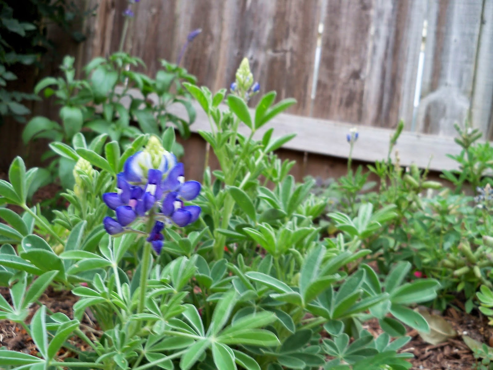 Gardening 2014 - 116_1742.JPG