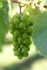 Fast-growing grapes!