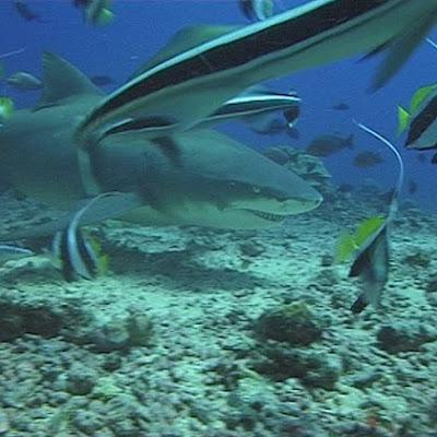 Moorea - plongée & requins
