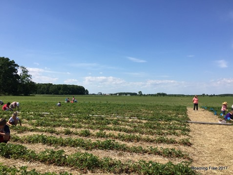 Beautiful day for strawberry picking!