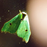 Notodontidae : Heterocampinae : Rosema deolis (Cramer, 1775). Mount Totumas, 1900 m (Chiriquí, Panamá), 20 octobre 2014. Photo : J.-M. Gayman