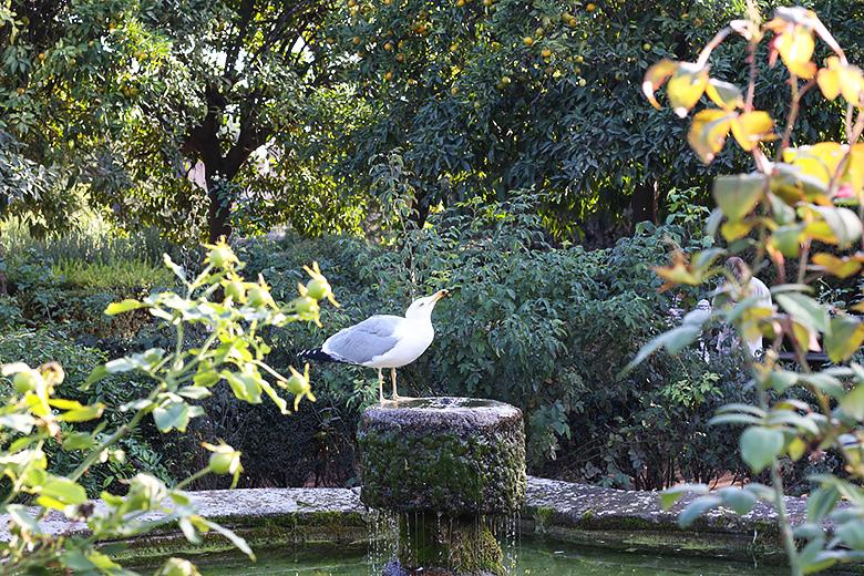 Goéland se rafraichissant dans une fontaine sur le mont Palatin, à Rome.