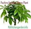 Pachira Aquatica Money Plant