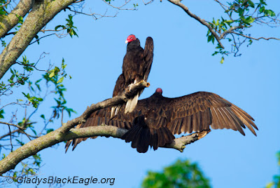 Look for Turkey vultures to return to Iowa as the days warm and grow longer.