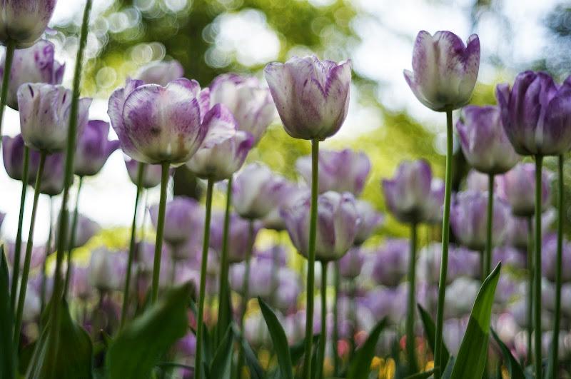 Tulip putih ungu