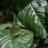Nessaea hewitsonii hewitsonii (C. Felder & R. Felder, 1859). Río Cravo Sur, Sendero Ecológico La Virgen de La Peña, El Morro, 640 m (Casanare, Colombie), 21 novembre 2015. Photo : C. Basset