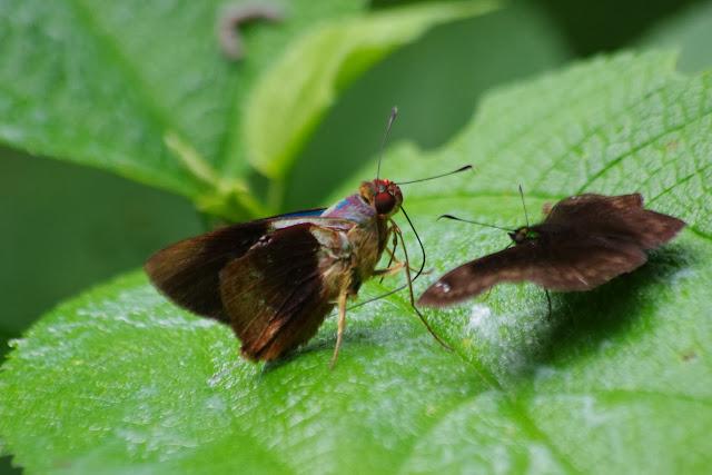 À gauche : Thracides phidon (CRAMER, 1779). À droite : Gorgopas chlorocephala sneiderni BELL, 1947. Las Juntas, 1400 m (Carchi, Équateur), 4 décembre 2013. Photo : J.-M. Gayman