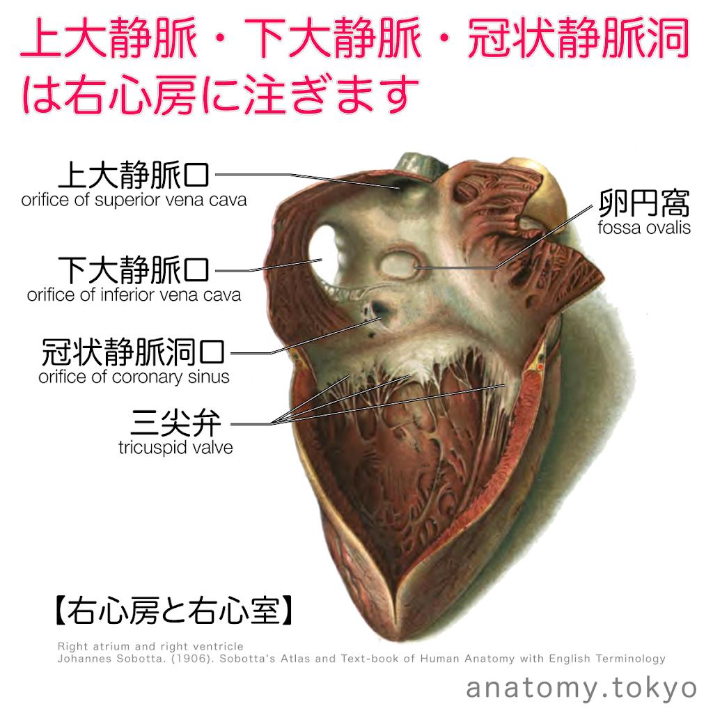 t222-04 上大静脈・下大静脈・冠状静脈洞は右心房に注ぐ.png