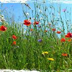 20120724-01-poppies-daisies.jpg