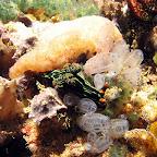 Nudibranch (Bangka Island)