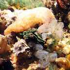 Nudibranch (Bangka Island)