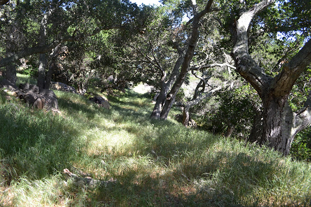 stand of oak trees around the road
