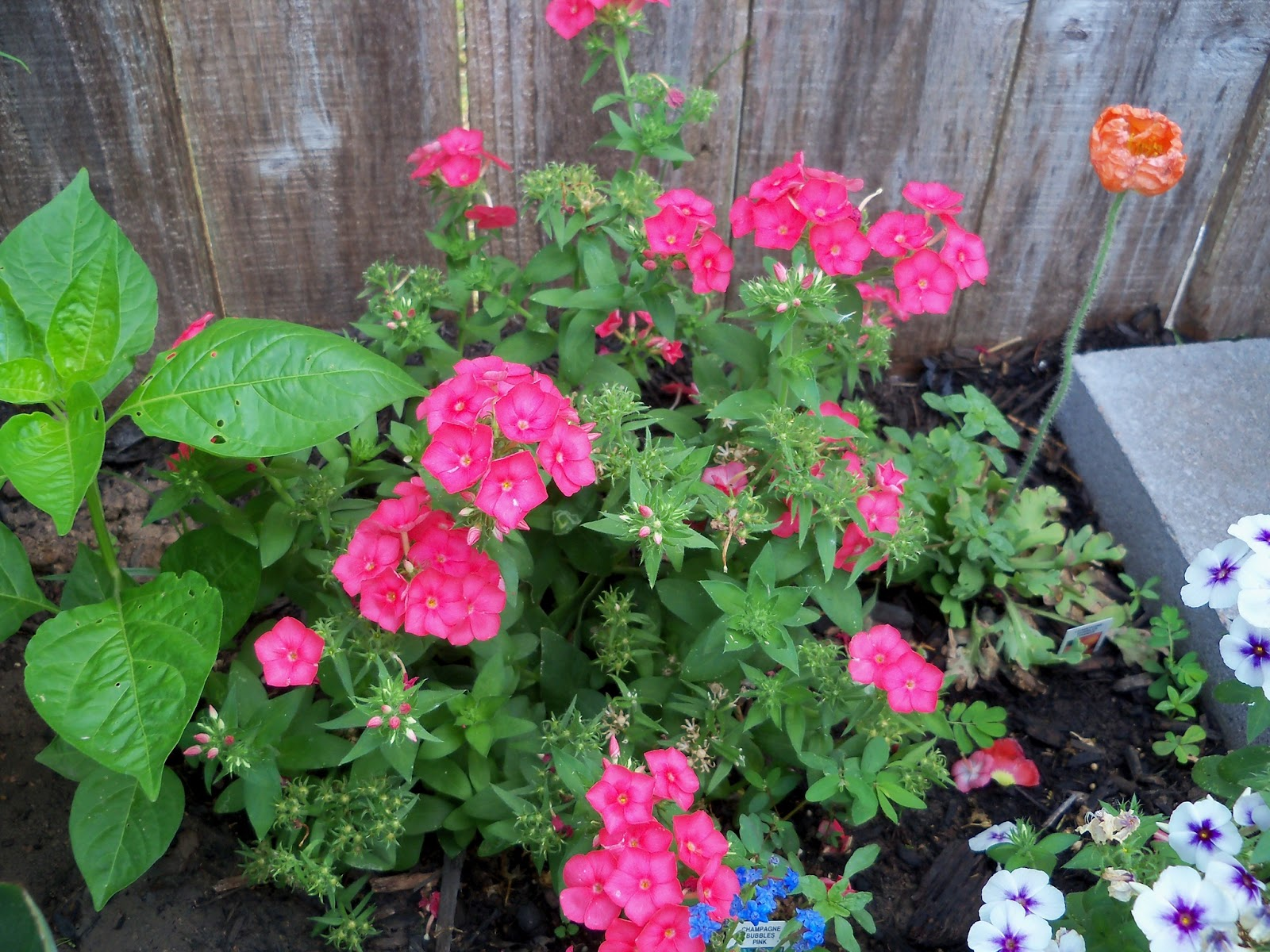 Gardening 2011 - 100_8180.JPG